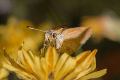 Detailed closeup of a orange butterfly sitting on a yellow flower. Detailed closeup of a orange and white colored butterfly sitting on a yellow flower stock images