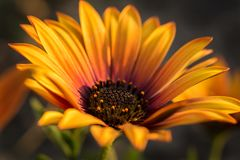 Detailed closeup of a Osteospermum with yellow, orange and red blossom stock image