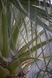 Detailed Closeup of Palm Tree Fronds with Fibers and Thorns stock photos