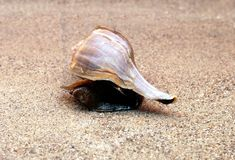 Detailed Conch Royalty Free Stock Images