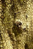 Detailed cracked pattern of tree bark.  Royalty Free Stock Image