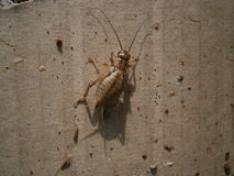 Detailed cricket/Grig. Detailed photo of cricket/Grig Royalty Free Stock Photography