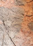 Detailed crinoid fossils in sandstone reveal the strange shapes of these prehistoric animals.  royalty free stock image