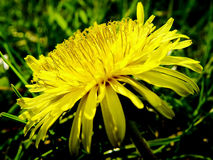 Detailed Dandelion. Higher contrasted dandelion on the grass Stock Photo