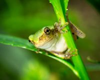 Frog contorted between two twigs. Detailed face of frog with significant out of focus areas stock photo