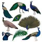 Detailed flat vector set of beautiful peacocks. Wild bird with colorful feathers. Wildlife and fauna theme. Collection of beautiful peacocks. Wild bird with Royalty Free Illustration