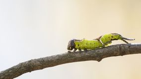 Detailed green caterpillar on a branch in a natural environment royalty free stock images
