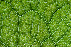 Detailed Green Leaf Close Up Texture Royalty Free Stock Photography