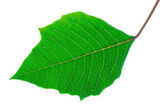 Detailed green leaf - isolated royalty free stock photos