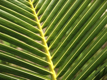 Close up of a green palm leaf Royalty Free Stock Photo