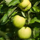 Detailed green summer apples on the tree before harvest Stock Photo
