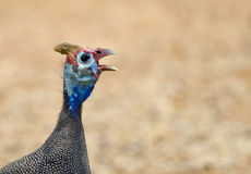 Detailed Guinea fowl head Stock Photography