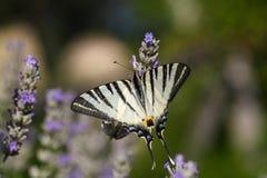detailed högt vektor för swallowtail för illustrationiphiclidespodalirius knapp fotografering för bildbyråer