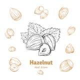 Hazelnuts vector hand-drawn illustration stock photos