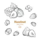 Hazelnuts vector hand-drawn illustration stock photo