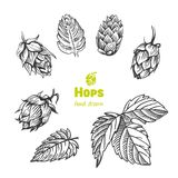Hops hand drawn illustration. Detailed hand drawn vector black and white illustration of hops with leaves Royalty Free Stock Photo