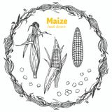 Maize vector hand drawn illustration. Detailed hand drawn vector black and white illustration of maize kernels and ears with leaves Royalty Free Stock Image