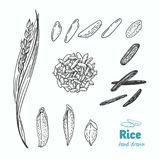 Rice vector hand drawn illustration Stock Photos
