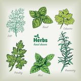 Culinary herbs vector hand drawn illustration Stock Photography
