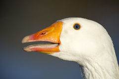 Detailed head of a white goose. A contrasting image showing a close up of the head of a white goose with a blue eye and open mouth royalty free stock image