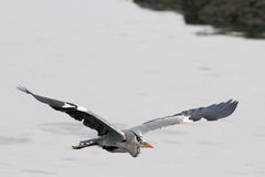 Detailed heron flight Stock Photos