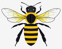 Detailed Honey Bee Vector Illustration stock photography
