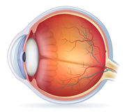 Detailed human eye anatomical illustration Royalty Free Stock Image