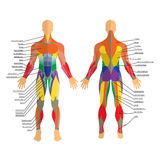 Detailed illustration of human muscles. Exercise and muscle guide. Gym training. Front and rear view. Royalty Free Stock Photo
