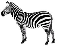 Detailed illustration of zebra Stock Images