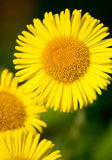 Detailed image of Fleabane. Bright image of the yellow flower Common Fleabane Royalty Free Stock Photo