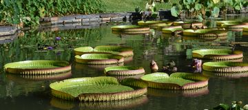 Detailed image of Giant Lily Pads Royalty Free Stock Images