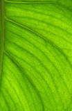 Detailed leaf in back-light. Detailed bright leaf in back-light Royalty Free Stock Photography