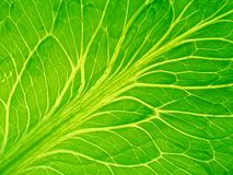 Detailed leaf of salad. In back-light royalty free stock images