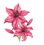 Detailed lily flower in vintage style. Vector Stock Image