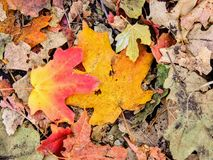 Autumn Maple and Oak Fall Leaves Close Up on the Forest Floor on the Rose Canyon Yellow Fork and Big Rock Trail in Oquirrh Mountai Royalty Free Stock Images