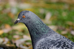 Pigeon. Detailed look to pigeon Royalty Free Stock Image