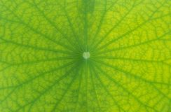 Detailed lotus leaf in close up for background, texture. Detailed lotus leaf in close up for background Stock Images