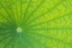 Detailed lotus leaf in close up for background. Texture Royalty Free Stock Photos