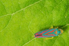 Detailed macro of candy-striped leafhopper on green leaf - vivid blue and red stripes on insect with an almost 3-d pattern look -. Taken in Minnesota stock images