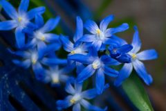 Detailed macro close up of blue scilla flowers royalty free stock images