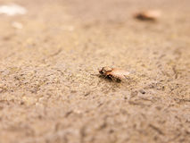 A detailed macro fly resting on the ground taken from the side w. A fly resting on the ground detail and macro close up stunning and scary phobia nice texture Stock Images