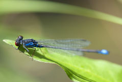 Detailed macro image of dragonfly Royalty Free Stock Images