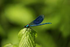 Detailed macro image of dragonfly on green plant. Bacjground Royalty Free Stock Images