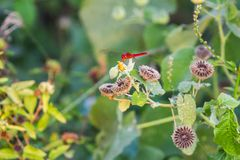 Red Dragonfly. Detailed macro image of red dragonfly on green plant Stock Photos