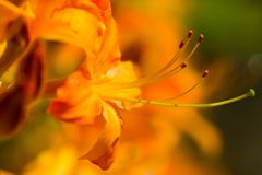Detailed macro of yellow rhododendron blossom stock images