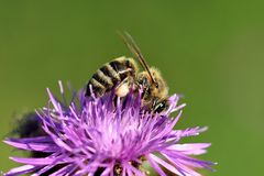 Bee pollination of a flower royalty free stock image