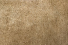 Detailed macro picture of cow skin. texture. Stock Photography