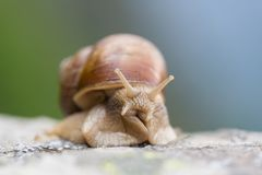 Macro of natural roman snail helix pomatia stock photography