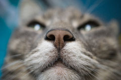Detailed macro shot of cat muzzle snout. Detailed macro shot of cat`s muzzle snout. look from below. selective focus with blurred background Royalty Free Stock Images