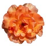 Detailed Orange Rose royalty free stock photo